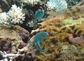 Chromis viridis Réunion.jpg