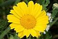 Chrysanthemum.segetum.-.lindsey.jpg