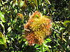 Chrysolepis chrysophylla Huckleberry BRP 1