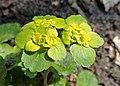 Chrysosplenium alternifolium kz25.jpg