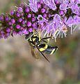 Chrysotoxum bicinctum - Flickr - gailhampshire (8).jpg