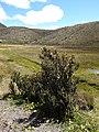 Chuquiraga jussieui (plant)-Cotopaxi in Ecuador.jpg
