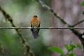 Cinnamon Flycatcher (Pyrrhomyias cinnamomeus) (4856351923).jpg