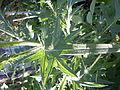 Cirsium vulgare (4994569693).jpg