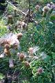 Cirsium vulgare - scotch thistle - chardon (4867700925).jpg