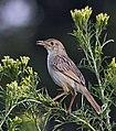Cisticola chiniana -Gauteng, South Africa-8.jpg