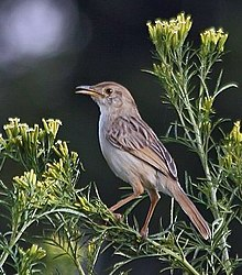 Cisticola chiniana -Gauteng, South Africa-8.jpg