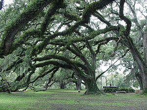 City Park (New Orleans) - Centuries-old Live Oak trees, located near City Park Avenue in the oldest section of the park.