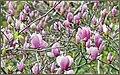 Classic Purple Magnolias (197783251).jpeg