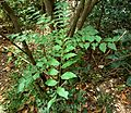 Clausena anisata, Krantzkloof Natuurreservaat.jpg