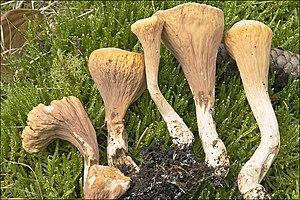Clavariadelphus truncatus 69586