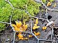 Clavulinopsis fusiformis Golden Spindles on mossy post GT.jpg
