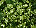 Claytonia perfoliata (Spring Beauty) - Flickr - S. Rae.jpg