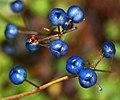 Clintonia udensis (fruits s6).jpg