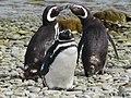 Closeup of 3 penguins Magellenic Penguin Falkland Islands.jpg