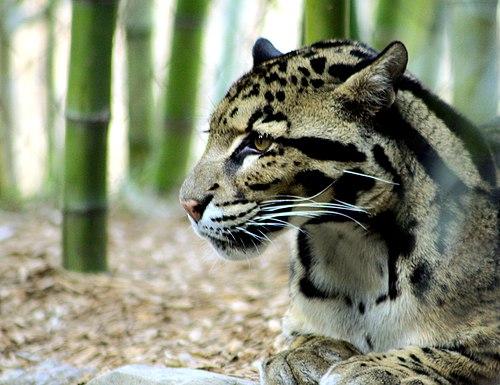 500px cloudedleopardportrait nashvillezoo