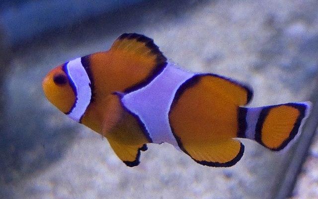 File clown fish 4125498003 jpg wikimedia commons for Clown fish size