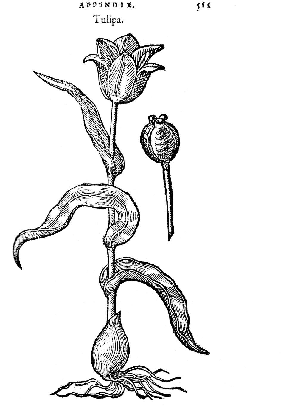 Clusius rariorum-RZ