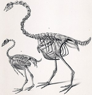 New Zealand goose - C. calcitrans and Cereopsis novaehollandiae skeletons