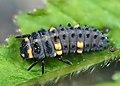 Coccinella septempunctata - 50143802753.jpg