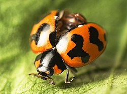 meaning of coccinellidae