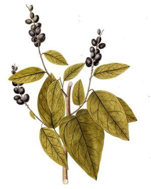 Coccoloba diversifolia - Image: Coccoloba diversifolia Jacquin