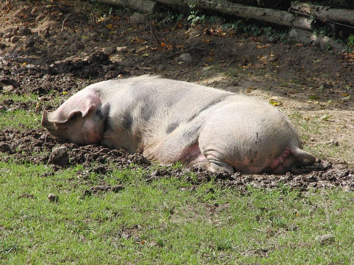 4a9c8fe5a7 Porc de Bayeux — Wikipédia