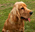 Cocker spaniel angielski zloty photoshop.jpg