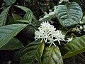 Coffea canephora.JPG