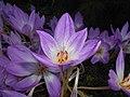 Colchicum 2015-10-03 6003.JPG