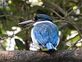Collared Kingfisher Todiramphus chloris by Dr. Raju Kasambe DSCN0915 (45).jpg