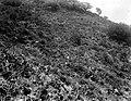 Collectie Nationaal Museum van Wereldculturen TM-10021338 Een heuvelhelling met lichte vegetatie en in de verte een gomboom Saba -Nederlandse Antillen fotograaf niet bekend.jpg