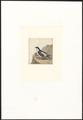 Collocalia esculenta - 1753-1834 - Print - Iconographia Zoologica - Special Collections University of Amsterdam - UBA01 IZA1000290.tif