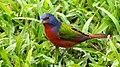 Colorín sietecolores - panoramio.jpg