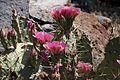 Colorado Cactus (5872737853).jpg