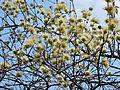Combretum mossambicense (inflorescence).jpg