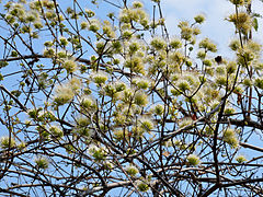 Combretum mossambicense (inflorescence).jpg