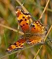 Comma Butterfly 3 (8066714995).jpg