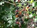 Comma butterfly on blackberry.jpg