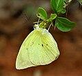 Common Emigrant (Catopsilia pomona) W IMG 9545.jpg