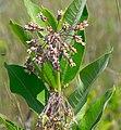 Common Milkweed (Ascelpias verticillata) - Flickr - wackybadger (1).jpg