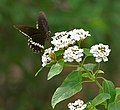 Common Mormon (Papilio polytes)- Male in Hyderabad, AP W 214.jpg