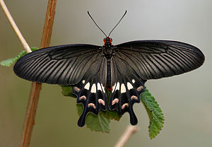 Batesian mimicry - A well-known mimic, Papilio polytes (top) resembles the unpalatable Pachliopta aristolochiae (bottom).