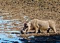 Common Warthog (Phacochoerus africanus) drinking ... (50872290713).jpg