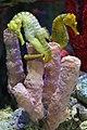 Common seahorse (Hippocampus taeniopterus) (3826906603).jpg