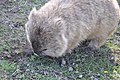 Common wombat 3.jpg