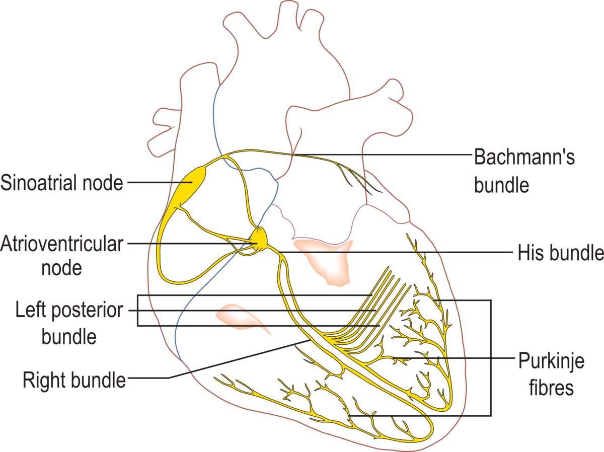 Heart besides Nodes moreover Normalheart moreover Hqdefault moreover Cardiac Conduction System. on heart conduction system diagram
