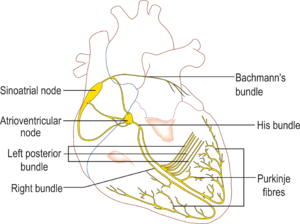 Cardiac action potential - Figure 4: The electrical conduction system of the heart