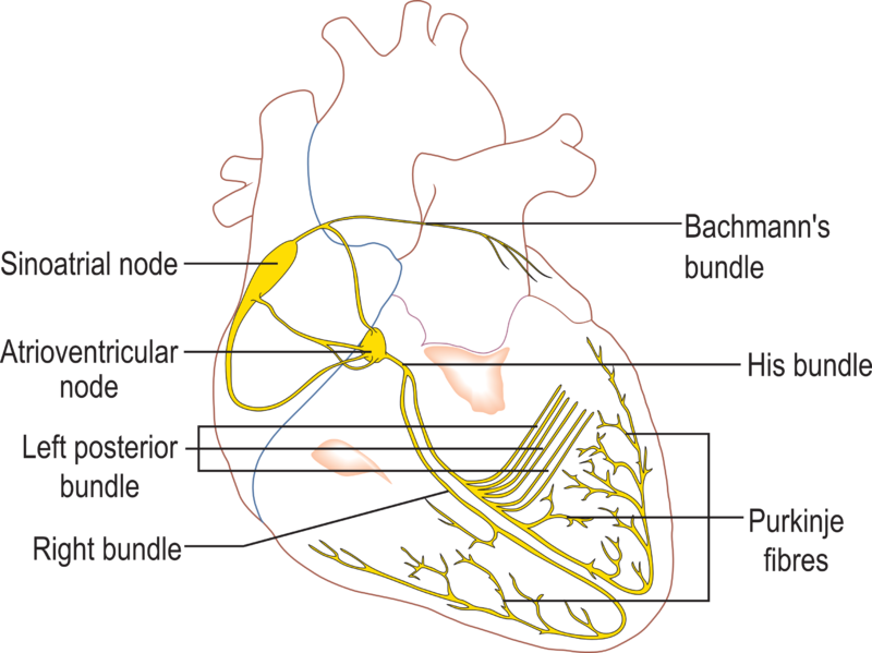 File:Conductionsystemoftheheart.png