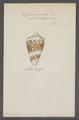 Conus ammiralis - - Print - Iconographia Zoologica - Special Collections University of Amsterdam - UBAINV0274 086 07 0010.tif